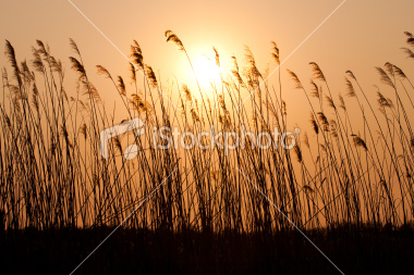 16379694-16379694-sunset-with-a-silhouette-of-reed1.jpg