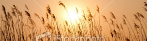 cropped-16379694-16379694-sunset-with-a-silhouette-of-reed.jpg